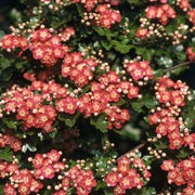 'Rosea Flore Pleno' is a deciduous tree with glossy, mid-green leaves and double pink flowers in spring.