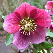 'Purple' is a clump-forming, deciduous, perennial with palmate, serrate, leathery, dark green leaves and clusters of 2-3 large, cup-shaped, nodding, plum-purple flowers with yellow stamens in winter. Helleborus orientalis 'Purple'    added by Shoot)
