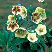 'Yellow Speckled' is a clump-forming, deciduous, perennial with palmate, serrate, leathery green leaves and clusters of 2-3 large, rounded, nodding, yellow flowers spotted with red from winter until spring. Helleborus orientalis 'Yellow Speckled'  added by Shoot)