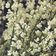 'Albus' is a rounded, compact, deciduous shrub with long, arching shoots. Clusters of white flowers in mid to late spring are followed by silky, grey-green, palmate leaves.