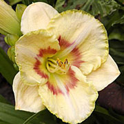 Hemerocallis 'Custard Candy'