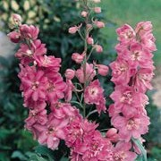 'Astolat' is a clump-forming perennial with lobed, mid-green leaves and spikes of deep pink flowers in summer. Delphinium 'Astolat' added by Shoot)