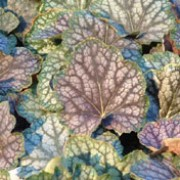 'Beauty Colour' is a semi-evergreen, herbaceous perennial with an attractive mound of green and burgundy marbled with silver foliage and tall, arching stems of tiny, bell shaped white flowers in spring to summer.  Heuchera 'Beauty Colour' added by Shoot)