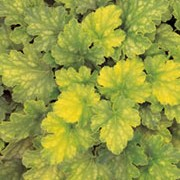 'Key Lime Pie'  is an evergreen, herbaceous perennial with an attractive mound of lime-green and mid-green mottled foliage and tall, arching stems of tiny, bell shaped white flowers in spring until summer.  Heuchera 'Key Lime Pie'  added by Shoot)