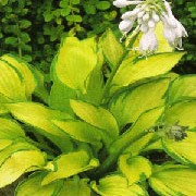 'Gold Standard' is a medium sized, mounding, deciduous perennial with large, heart-shaped foliage that has creamy yellow and variable dark green margins and lavender flowers throughout summer. Hosta 'Gold Standard'  added by Shoot)