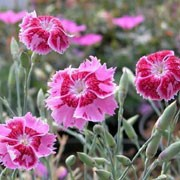 'Lionheart' is a clump-forming, evergreen perennial with silver-grey linear leaves and fragrant, deep pink to red flowers with fringed petals in summer. Dianthus 'Lionheart' added by Shoot)