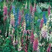 'Camelot Series' are biennials that form a basal clump of large, dark green leaves and tall, upright spikes of rose, white, lavendar or cream flowers in summer. This group will bloom in the first and second year. Digitalis 'Camelot Series' added by Shoot)