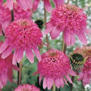'Razzmatazz' is an upright perennial with toothed, dark green leaves and deep purple-pink double pompon-like head of petals in summer and early autumn.