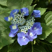 (07/06/2019) Hydrangea macrophylla 'Blaumeise' (Teller Series) added by Shoot)