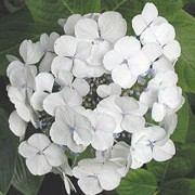 "'Teller White' is a deciduous, upright shrub with dark green, tapering leaves and snowy white ""lace-cap"" flowers that have white flowers with cupped petals arranged around multi-coloured centre flowers in summer. Hydrangea macrophylla 'Teller White'    added by Shoot)"