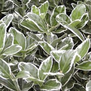 'Kathy' is a small, bushy, evergreen shrub with oval, glossy, green leaves edged silvery-white. Small green flowers bloom in summer and are occasionally followed by fruit in autumn Euonymus japonicus 'Kathy' added by Shoot)