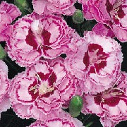 'Moulin Rouge' is a compact, spreading, evergeen perennial with linear, grey-green leaves and scented, double, pale pink flowers with laced edges and deep magenta centres and margins in early summer to autumn.