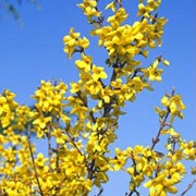 'Weekend' is a compact, deciduous shrub with erect, arching branches and abundant, bright golden-yellow flowers on bare stems in spring. Forsythia x intermedia 'Weekend' added by Shoot)