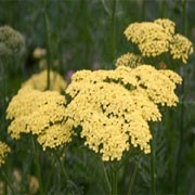 'Credo' has finely-cut foliage and flat heads of creamy-yellow flowers. Achillea 'Credo' added by Shoot)