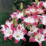 'Lollypop' is a bulbous perennial with linear, dark green leaves and outward-facing, bright pink flowers with creamy white speckled throats in summer. This lily is classified in division 1b of lily classifications. Lilium 'Lollypop' added by Shoot)