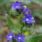 Anchusa officinalis added by Shoot)