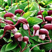 Arisarum proboscideum added by Shoot)