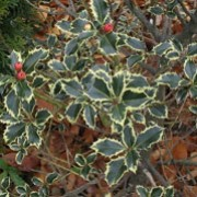'Variegatum' is an evergreen, upright tree or shrub with spiny, variegated, dark green leaves with creamy edges. In summer is has insignificant white flowers, and later produces red berries throughout late autumn and winter. Ilex aquifolium 'Variegatum'      added by Shoot)
