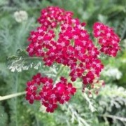 (20/04/2020) Achillea 'Summerwine' added by Shoot)