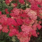 'Fanal' is a perennial with bright red flat flowerheads, with yellow eyes, and finely dissected foliage. Achillea 'Fanal' added by Shoot)