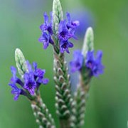 L. x christiana is an evergreen, aromatic perennial with soft silvery-green, serrated foliage and blue, errect flowers in summer. Lavandula x christiana added by Shoot)