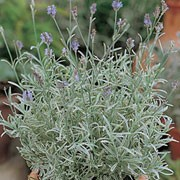 'Walberton's Silver Edge' is a bushy, evergreen shrub with silver-blue foliage that has cream edges. In summer until early autumn it bears spikes of fragrant, blue-purple flowers.