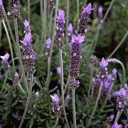 L. dentata is a tender, evergreen shrub, with narrow, thick, grey-green leaves that have square teeth on the edges. It is slightly fragrant and has lavender-purple flowers from spring until the first frost. Lavandula dentata added by Shoot)