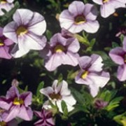 'Million Bells Lavender' is a compact, trailing annual with small, yellow-throated lavender flowers in summer and autumn.