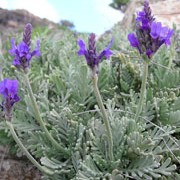 L. pinnata is a tender, compact shrub that has silver-sage green, narrow, fern-like foliage. In mid summer until early autumn it has blue-violet flowers. Lavandula pinnata added by Shoot)