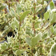 'Argenteum' is a semi-evergreen, upright, bushy shrub with medium sized, green leaves with silver edges and clusters of creamy-white flowers in summer. Ligustrum ovalifolium 'Argenteum' added by Shoot)
