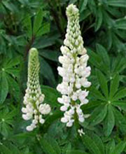 Lupinus 'Gallery White' (Gallery Series)
