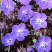 'Hocus Pocus' forms a neat clump of serrated and lobed purple (almost black) leaves with large, bluish-purple flowers  in summer.
