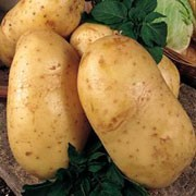 'Pentland Dell' is a perennial forming branching stems with compound bluish leaves, white flowers, green berries, and edible, swollen tubers, which are harvested in the autumn. 'Pentland Dell' is a maincrop potato variety which forms long, oval tubers with white skin and cream flesh. Solanum tuberosum 'Pentland Dell' added by Shoot)