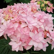 'Romance' is a decidous, upright, spreading shrub with green, ovate, serrated leaves and rounded clusters of double pink flowers. Hydrangea macrophylla 'Romance' added by Shoot)