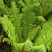 Polystichum aculeatum added by Shoot)