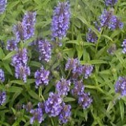 Nepeta nervosa added by Shoot)
