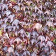 'Veitchii' is a vigorous, self-clinging, deciduous climber with lobed, bright green leaves turning dark red-purple in autumn. Occasionally bears inconspicuous flowers and dull-blue berries. Parthenocissus tricuspidata 'Veitchii' added by Shoot)