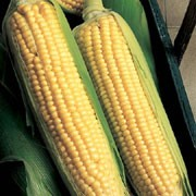 'Applause' F1 is a tall, annual, cereal grass bearing edible yellow kernels on large ears in autumn. This variety is bred to retain sweetness in storage longer than other varieties. Zea mays 'Applause' F1 added by Shoot)