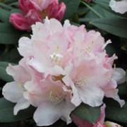 'Dreamland' is a small evergreen shrub with pale pink flowers edged deeper pink and white outer petals. Rhododendron 'Dreamland' added by Shoot)