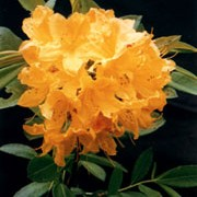 Rhododendron molle subsp. japonicum  added by Shoot)