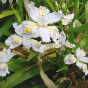 Iris japonica added by Shoot)