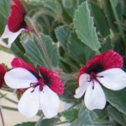 'Splendide' is an upright, shrubby perennial with soft smooth stems bearing grey-green leaves with serrated edges and pansy-like flowers with bold carmine upper petals and paler pink lower petals in summer. Pelargonium 'Splendide' added by Shoot)
