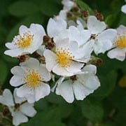 'Multiflora' is a scrambling, climbing rose shrub with stout stems with recurved thorns with clusters of simple, small white flowers in early summer followed by reddish-purple hips. Rosa multiflora var. multiflora added by Shoot)
