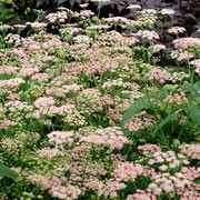 'Rosea' is  clump-forming perennial with feather-like leaflets of bright green and umbels of soft, lacy pink flowers. Pimpinella major 'Rosea' added by Shoot)