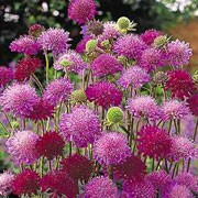 'Melton Pastels' is an herbaceous perennial with simple or lobed stem leaves and a profusion of dark red and pink flowersheads in mid-summer. Knautia macedonica 'Melton Pastels' added by Shoot)
