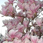 M. x soulangeana is a deciduous shrub or multi-stemmed tree with large, dark green leaves that turn yellow to brown in autumn. The deep rose-pink or pure white, saucer-shaped flowers are produced in spring, before and with the new leaves. Magnolia x soulangeana  added by Shoot)