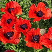 'Beauty of Livermere' is a clump forming, herbaceous perennial with hairy, green leaves and large, black centred, blood red flowers from late spring until summer.  Papaver orientale 'Beauty of Livermere' added by Shoot)
