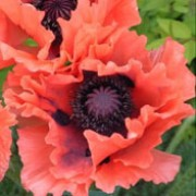 'Garden Glory' is an herbaceous perennial with finely-divided foliage and frilly, papery, salmon-pink flowers with black centres that blooms in late spring and early summer.  Papaver orientale 'Garden Glory' added by Shoot)