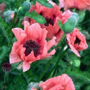 'Mrs Perry' is an upright, herbaceous perennial with pinnately lobed, green leaves. It bears cupped, clear pink flowers with small black spots inside each petal from late spring until mid-summer. Papaver orientale 'Mrs Perry'  added by Shoot)