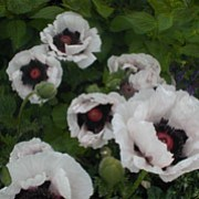 'Perry's White' is an upright, herbaceous perennial with downy, divided, green leaves. It develops large, papery, white flowers with a black and purple centre in summer. Papaver orientale 'Perry's White' added by Shoot)